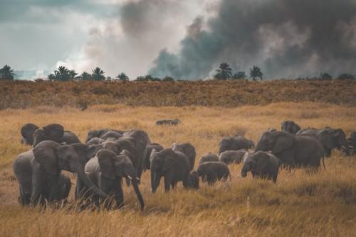 Elephants running from fire